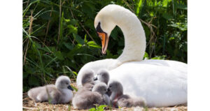 Swan and her ducklings