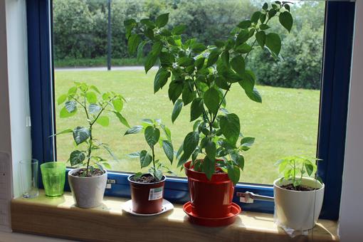 chilli-plants-510