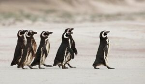 A photo of the leadership concept with penguins
