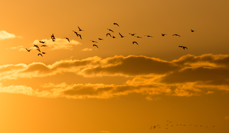 A group of birds fly into golden looking clouds