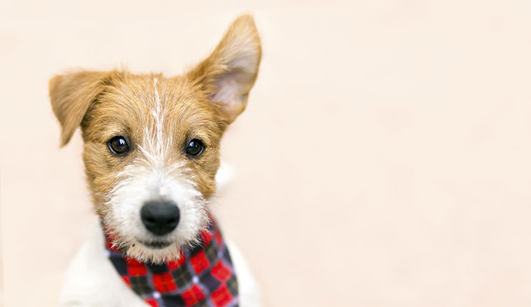 Funny pet dog jack russell puppy listening with ear
