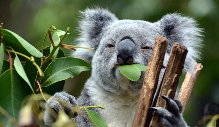 A picture of a Koala Bear