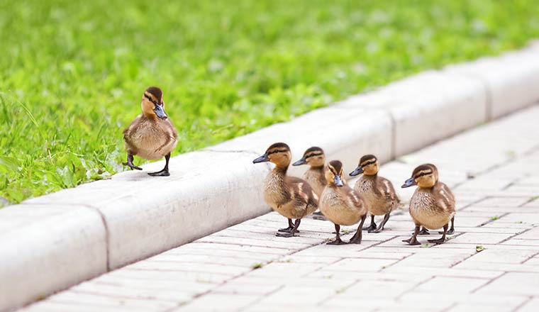 A photo of the leadership concept with ducks