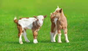 Baby goats in green grass